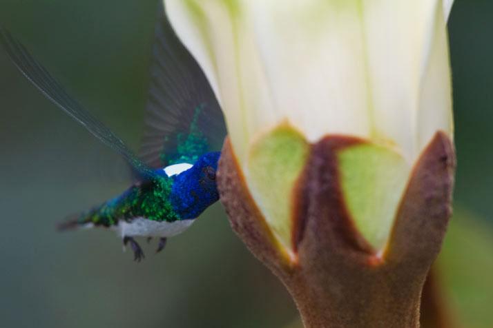 Hoa Balsa thu hút động vật