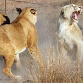 Sư tử trắng bị đàn sư tử vàng đánh tơi tả