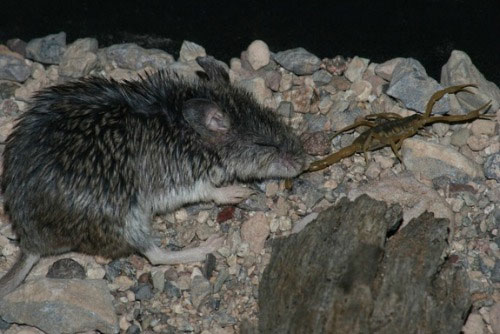 Chuột miễn nhiễm với nọc độc bò cạp