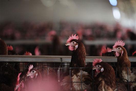 Nguy cơ bùng phát H7N9 vào mùa đông tại Trung Quốc