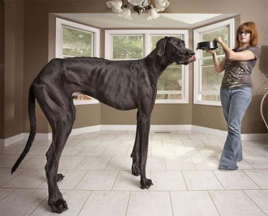 Con chó cao nhất thế giới qua đời
