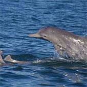 Phát hiện loài cá heo lưng gù mới gần Australia