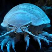 Động vật giáp xác bắt đầu ăn nhựa tổng hợp