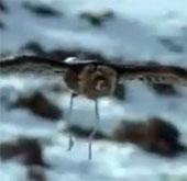Video: Xem đại bàng săn sói hoang trên thảo nguyên