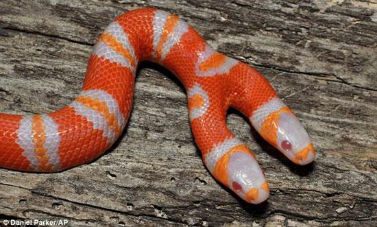 Kỳ lạ rắn hai đầu ở Florida