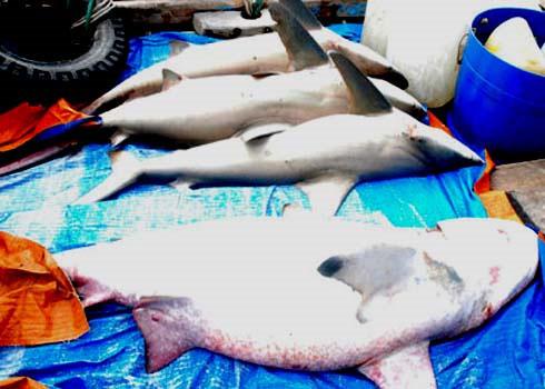 Cá mập kéo đàn về Cù Lao Chàm