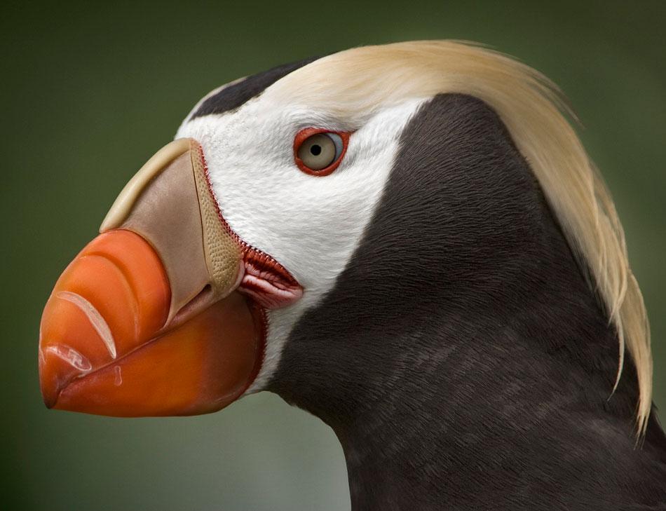 Thế giới của loài chim hoang Tufted Puffin ở Viễn Đông, Nga