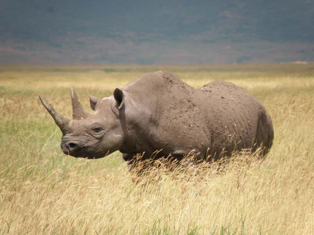 Tê giác là một trong những loài có nguy cơ tuyệt chủng nghiêm trọng