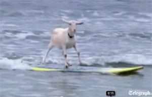 Video: Dê trổ tài lướt sóng điêu luyện