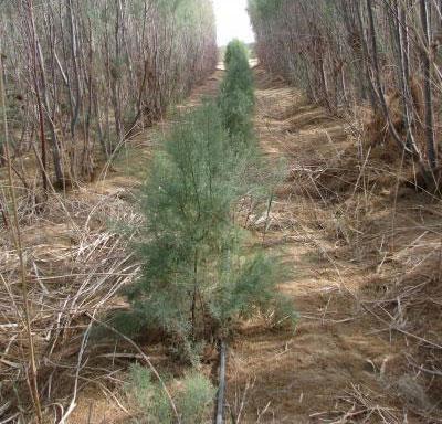 Trồng rừng tại sa mạc Avarah