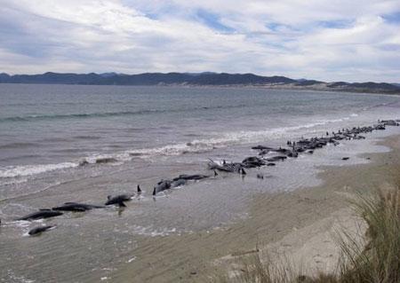 Cá voi chết hàng loạt trên bờ biển New Zealand