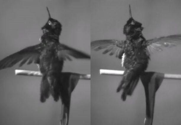 Video: Chim ruồi làm khô cơ thể