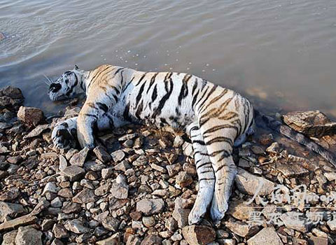 Phát hiện hổ Siberia ở Trung Quốc