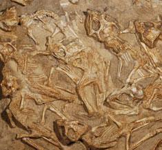 Phát hiện tổ khủng long con ở Mông Cổ