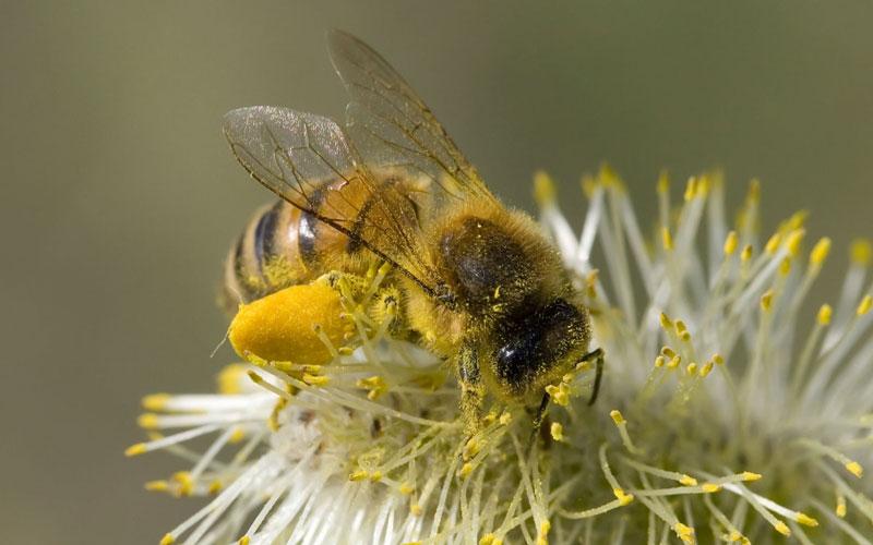Dùng ong để đuổi voi