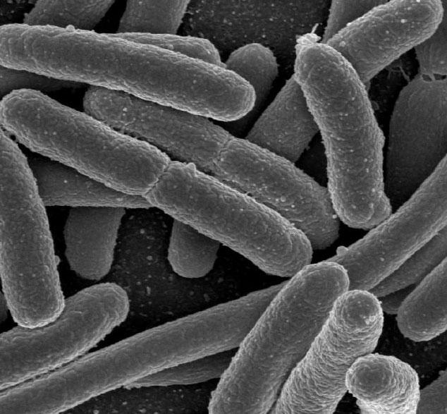 Vi khuẩn E.coli cũng có ích