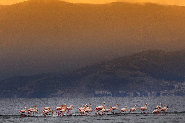 Ảnh đẹp: Đàn chim hồng hạc trên bãi biển Nea Kios