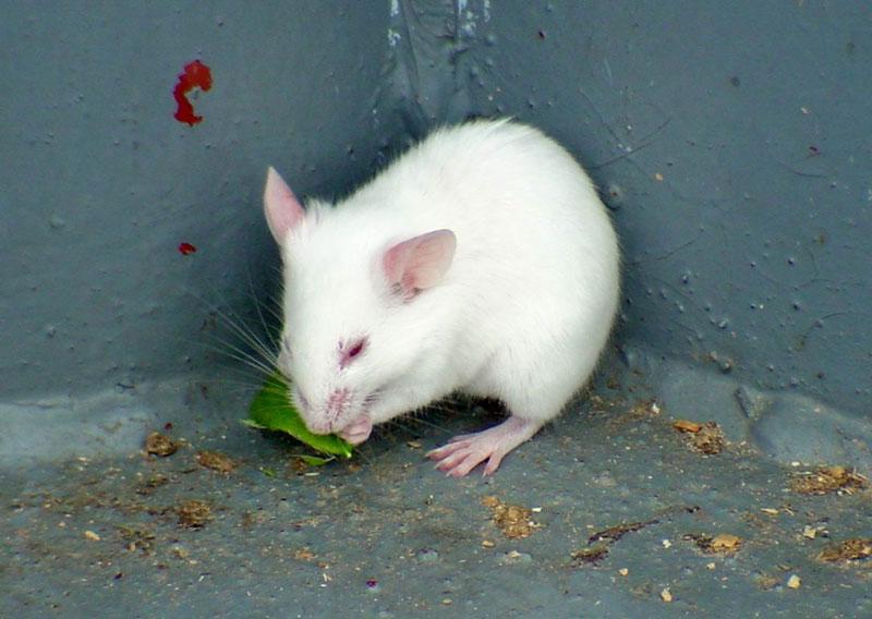"""Tạo ra chuột """"đại lực sĩ"""""""