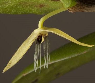 Phong lan đầu tiên nở hoa về đêm