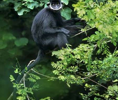 Thả voọc đen Hà Tĩnh về rừng