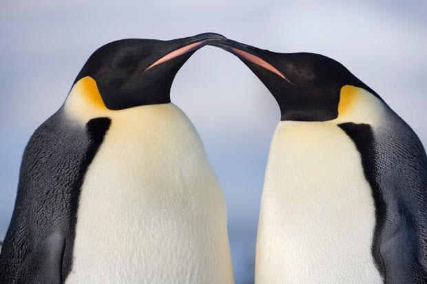 Khám phá cuộc sống của chim cánh cụt Hoàng đế