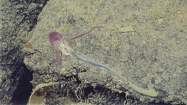 Loài giun biển có môi dài gần bằng cơ thể, được bao phủ bởi những sợi lông nhỏ. Loài giun biển này không có xương, não, mắt