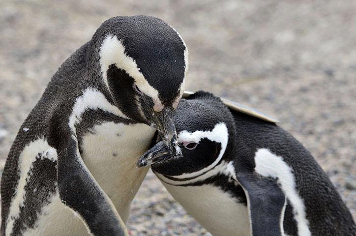 Cặp đôi chim cánh cụt đang tình tứ ở Chubut, Argentina. Hàng trăm con chim cánh cụt đã di cư tới đây từ tháng 9 vừa qua.