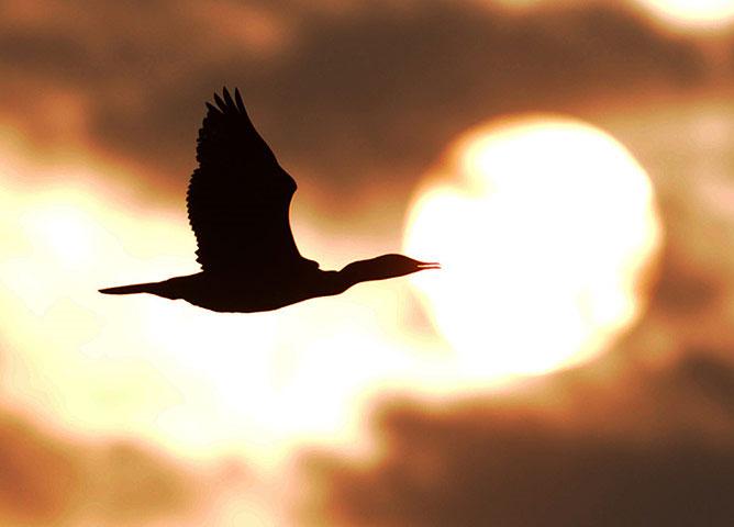 Chim cốc bay trong chiều hoàng hôn ở Vườn quốc gia Chitwan, Nepal.