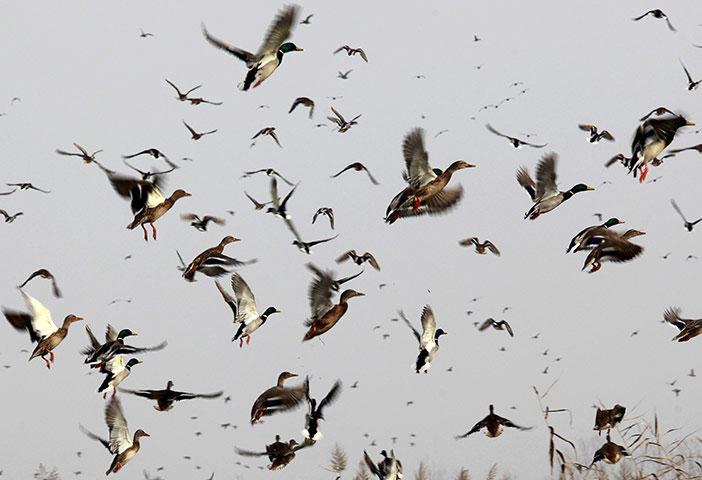 Chim di cư bay trên vùng đất ngập nước gần Srinagar, Ấn Độ.