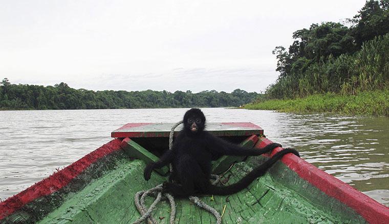 Một con khỉ nhện ngôi trong thuyền trên hồ Fernando ở khu bảo tồn quốc gia Serere, Madidi, Bolivia.