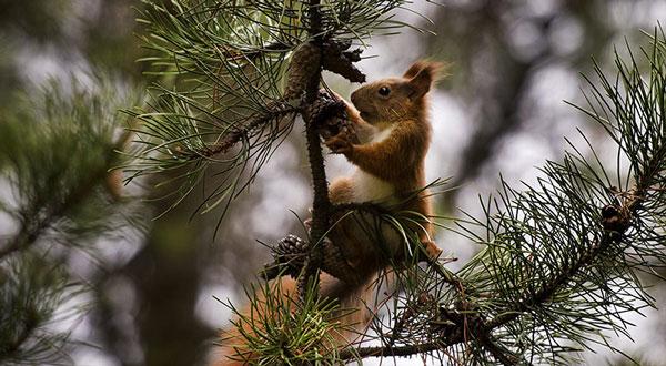 Ảnh đẹp: Sóc tìm kiếm thức ăn trên cây thông