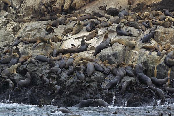 Hàng trăm con sư tử biển trên đảo Palomino ở Callao, Peru.