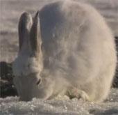 Video: Vũ điệu ngẫu hứng của thỏ