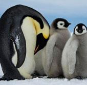 Khám phá những điều thú vị về loài chim cánh cụt