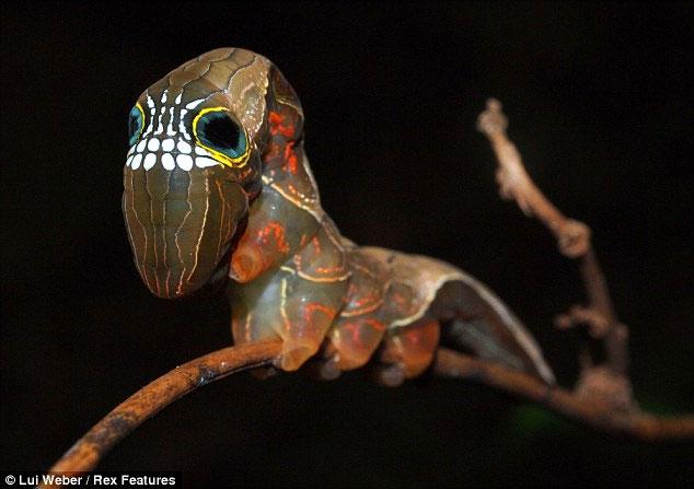 Ấu trúng sâu bướm cánh hồng có mặt hình sọ người
