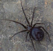 Hàng trăm nhện độc xâm nhập căn cứ Hải quân Anh