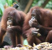 Tìm thấy virus Ebola trong loài đười ươi Kalimantan