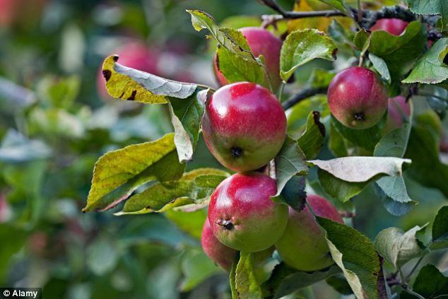 Bằng cách biến đổi gene, các nhà khoa học Anh có thể điều khiển trái cây chín đúng vào thời điểm mà họ muốn.