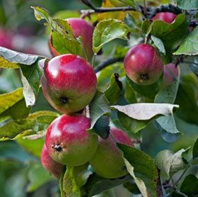 Có thể điều khiển trái cây chín theo ý muốn