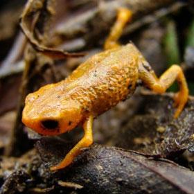 Phát hiện loài ếch mới cực nhỏ có 3 ngón chân