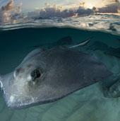 Cận cảnh cá đuối quấn quýt bên người đẹp