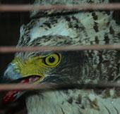Phát hiện chim lớn hiếm có ở Quảng Trị