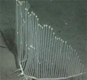 Video: Phát hiện loài bọt biển giống đàn hạc