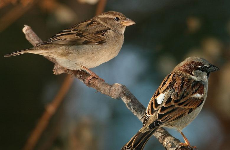 Chim sẻ nhà thường sống theo đàn