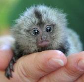 Khỉ sóc to bằng đầu ngón tay chào đời
