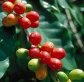 Cây cà phê sắp tuyệt chủng do biến đổi khí hậu