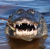 Tại sao cá sấu có thể đớp con mồi cực nhanh?