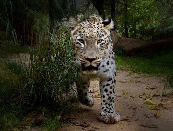 Một con báo hoang Nepal đã ăn thịt tối thiểu 15 người, trong đó có một bé trai 4 tuổi.