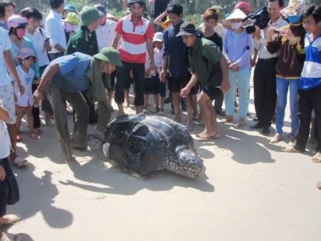 Hàng trăm người kéo đến xem rùa biển nặng 300kg