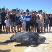 Bắt được rùa biển nặng hơn 300kg